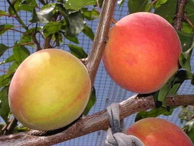 Как можно использовать косточки от абрикосов?