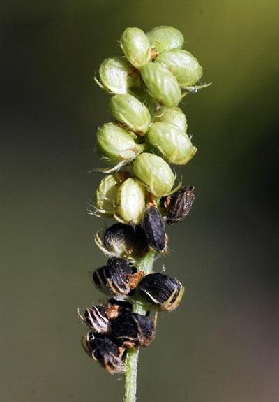 Односемянной боб люцерна хмелевая