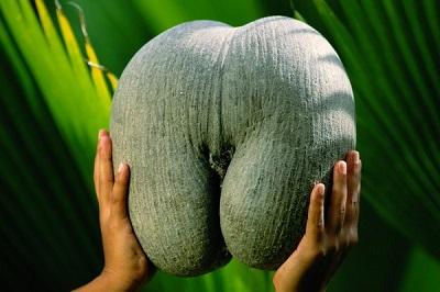 Сухая костянка (пиренарий) Сейшельская пальма